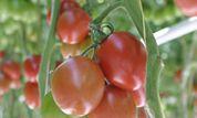 Engrais et Terreaux pour culture de Tomates