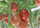 Terreau Proveen Tomate